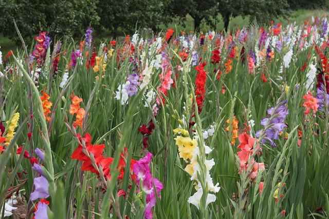 20130727_6133-rainbow-gladioli