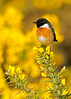 Stonechat, male on Gorse