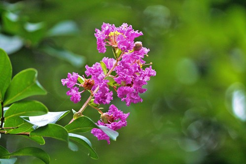 CrabAppleLane Crepe Myrtle - July 20, 2014