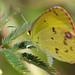 Little Yellow (eurema lisa) by celerycelery