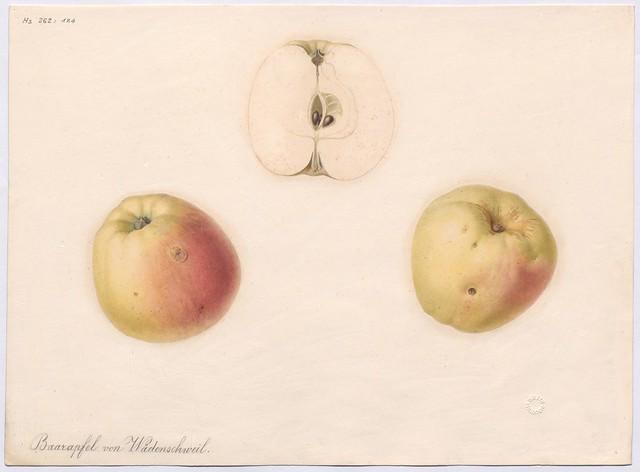 Apfelsorte Schafnase (Naht-Apfel, Baarapfel von Wädensweil)