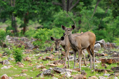 Sambar Deer- females