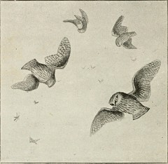 """Image from page 367 of """"Wild Spain ... records of sport with rifle, rod, and gun, natural history and exploration"""" (1893)"""
