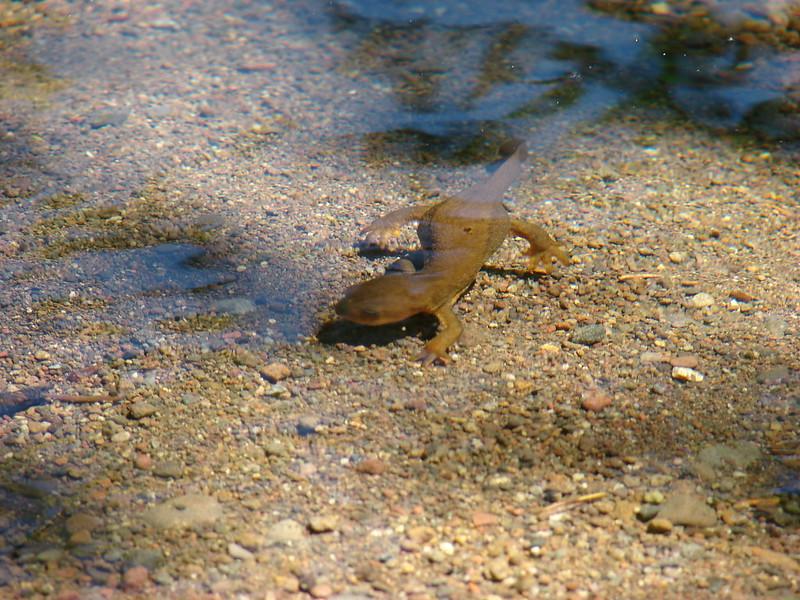 Newt in Donaca Lake