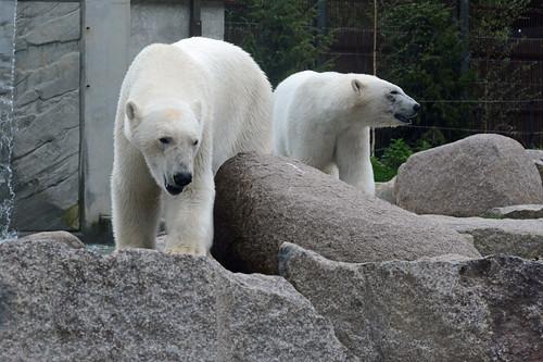 Eisbären Vicks und Sesi im Zoo de Mulhouse