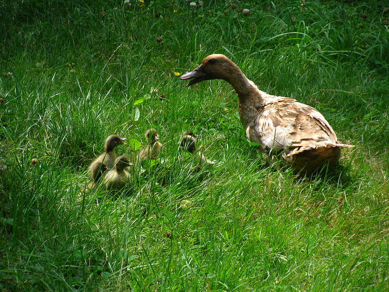 Khaki Campbell Ducklings and Mama