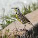 eastern meadowlark by wandering tattler