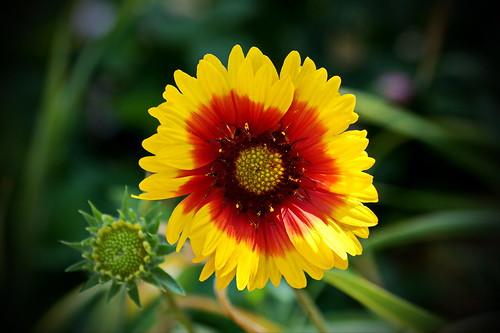 gaillardia gaillardia'sunsetsunrise' flower newbern northcarolina sonyphotographing sonya58 sony