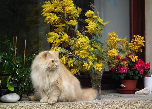 Alceste le chat