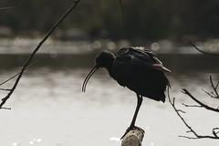 Ibis (Threskiornithidae)