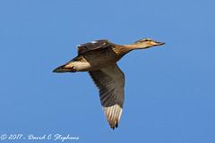Mallard Hen Flies By