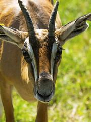 Memphis Zoo 08-31-2016 - Grants Gazelle 5
