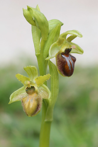 Early Spider Orchid, Ophrys sphegodes
