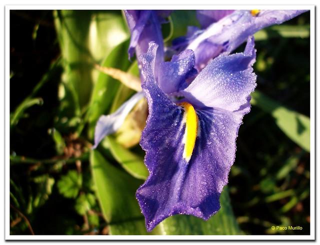Iris planifolia (Mill.) Fiori & Paol.