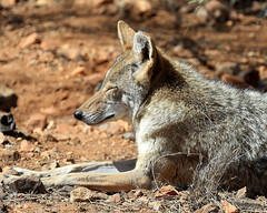 wallaby(0.0), dhole(0.0), kit fox(0.0), animal(1.0), red wolf(1.0), mammal(1.0), jackal(1.0), grey fox(1.0), fauna(1.0), coyote(1.0), wildlife(1.0),