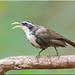 Indian Scimitar Babbler