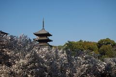 仁和寺 櫻花