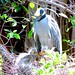 Yellow-crowned Night Heron and chicks