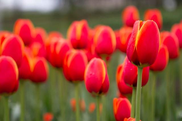 Tulip Time 2014