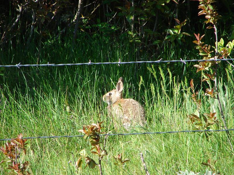 Rabbit near Swale Creek