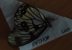Zethera incerta