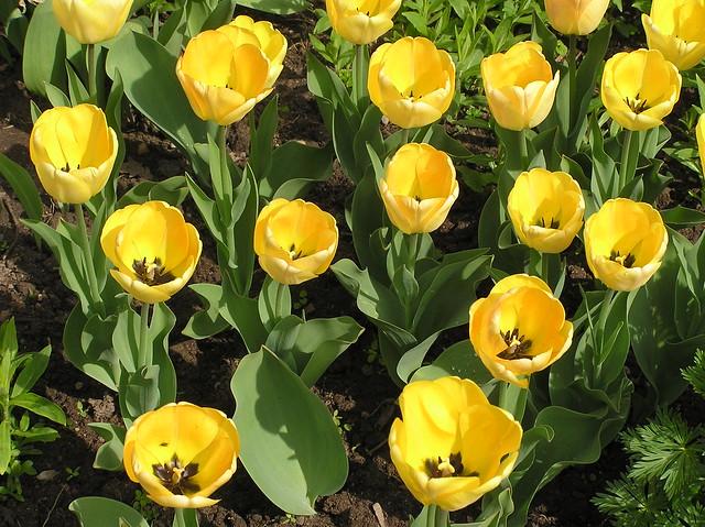 Tulipa 'Daydream'