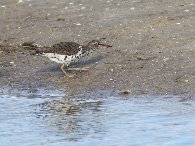 Spotted Sandpiper stalking 20140422