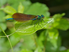 Beautiful Damselfly (Calopteryx virgo) male