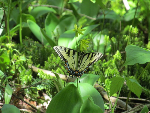 Tiger swallowtail, Papilio glaucus