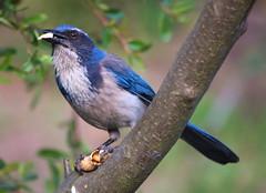 animal, branch, nature, fauna, close-up, bluebird, emberizidae, beak, bird, wildlife,