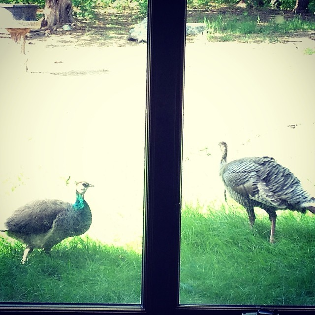 Looked outside to catch a turkey vs. peacock stare down! #crazybirds #neighborshouse #random #100happydays #day18