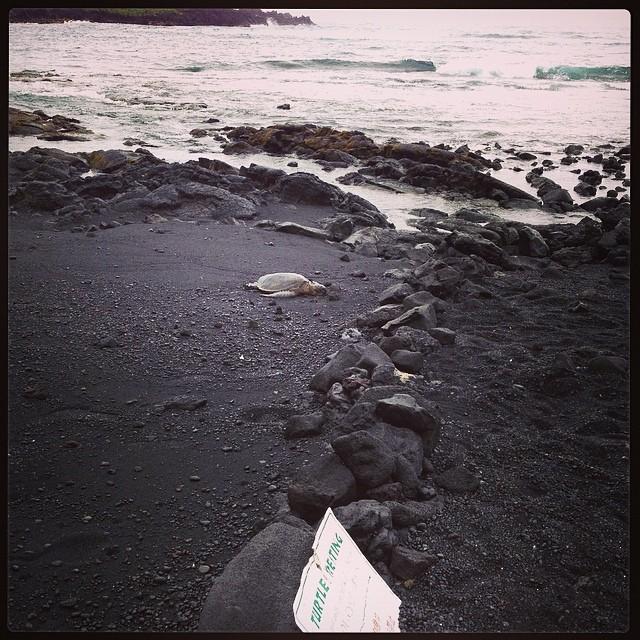 Green sea turtle at Punalu'u.