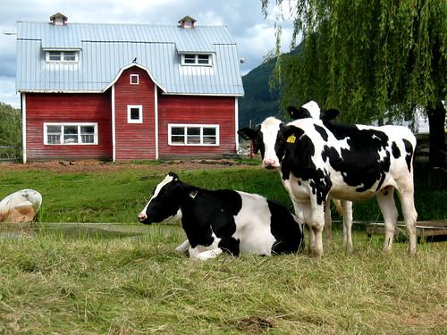 Cows in Yarrow
