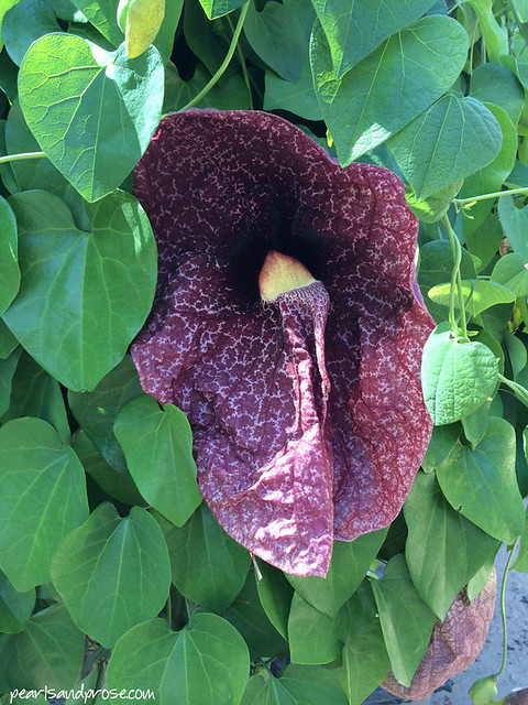 q_giant_dutchman_pipe_vine_web