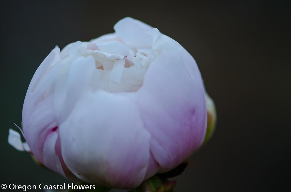 blush peony