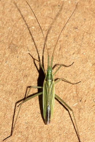 Megaloceroea recticornis 30502