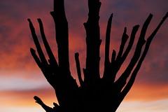 Cypress at Dawn