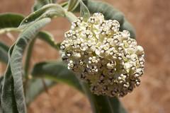 Asclepias eriocarpa-Indian Milkweed