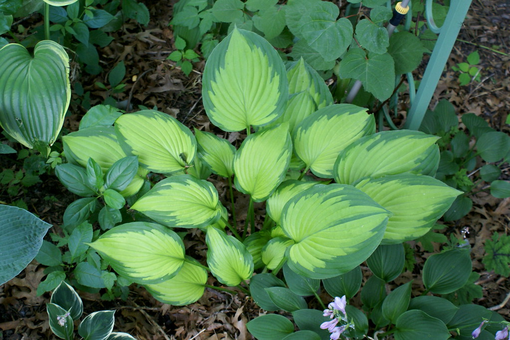 Hosta 'Roy Klehm' (09)-001