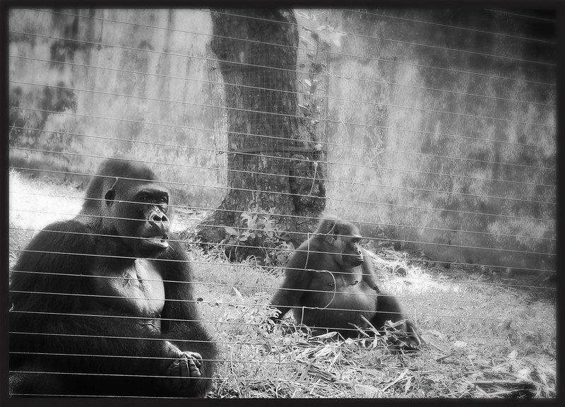 Gorillas - Lime Wildlife Centre