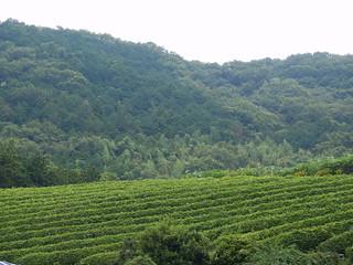 Nirayama Tea Plantation