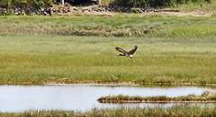 White Ibis, Rye, NH