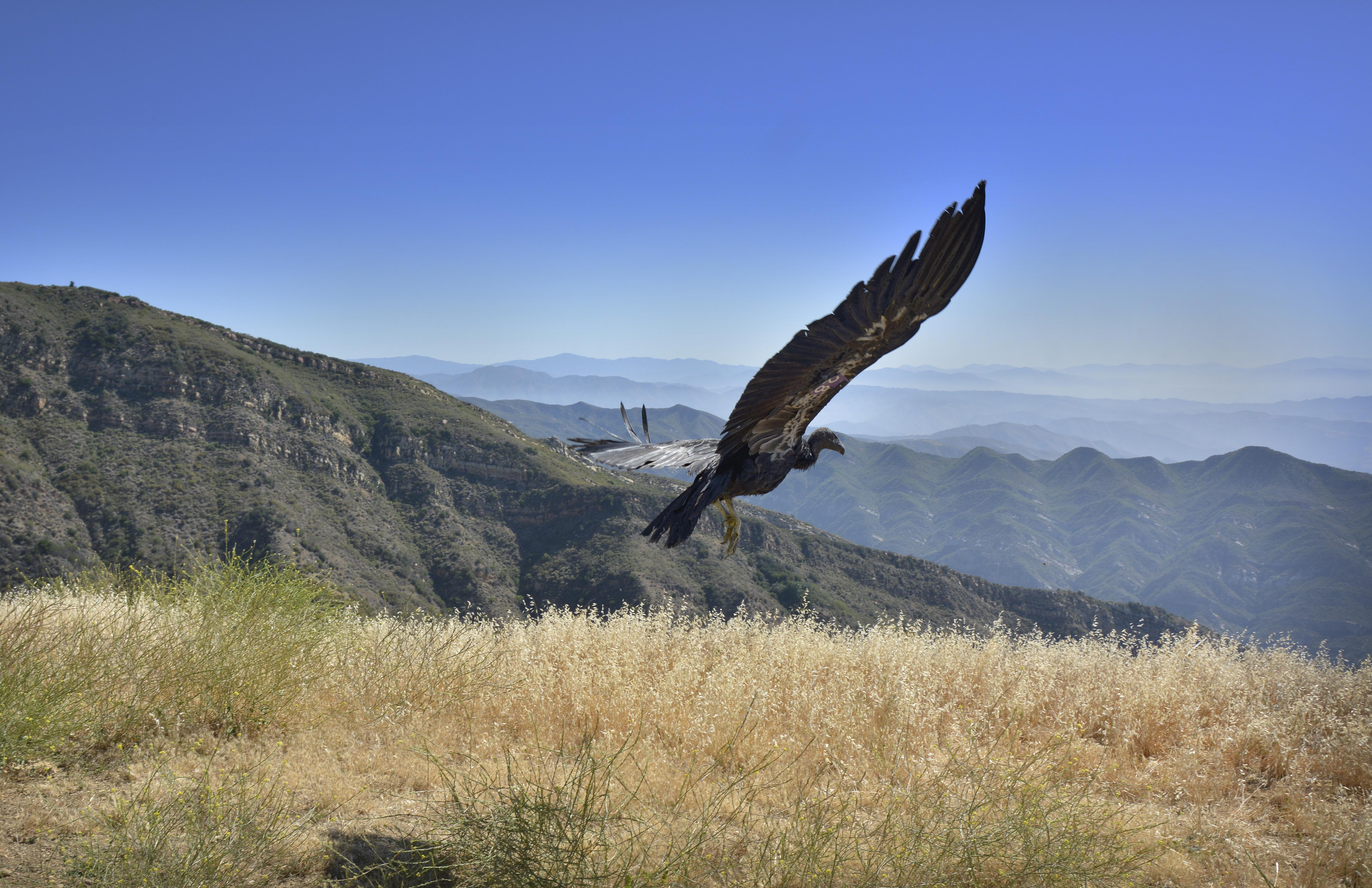 California Condor Released at Hopper Mountain NWR