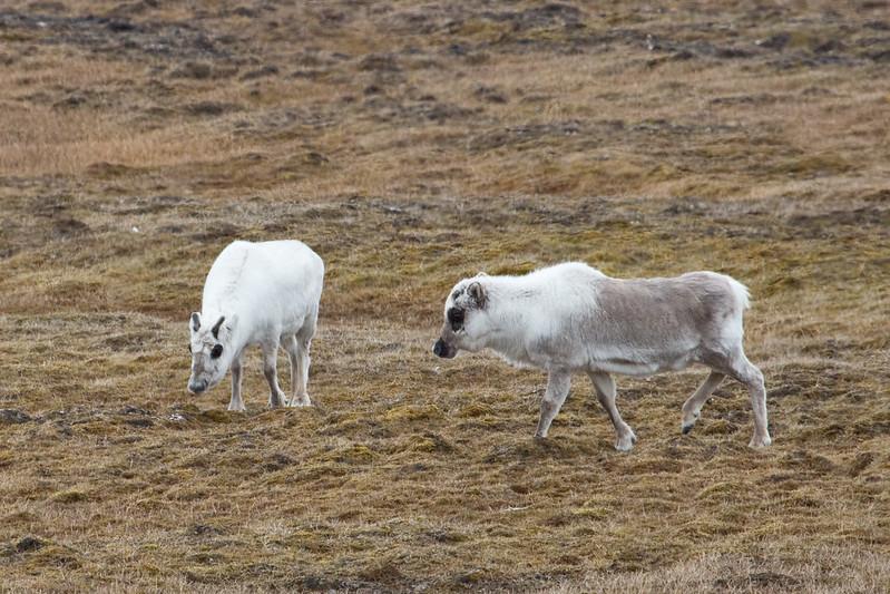 IMG_1988 Svalbard Reindeer