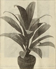 """Image from page 7 of """"Dreer's wholesale price list : decorative and other plants for florists, forcing bulbs, seasonable flower seeds, fertilzers, insecticides, fungicides and florists' sundries"""" (1913)"""
