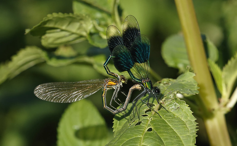 Banded Demoiselle pair mating