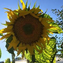 #sunflowers #подсолнухи