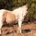 Assateague Mare 1