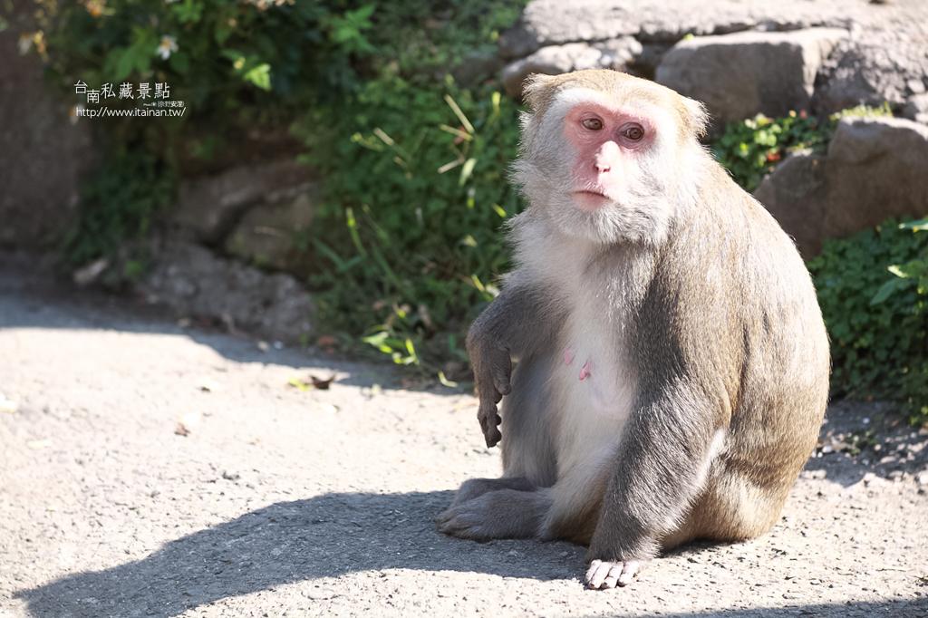 台灣獼猴 (20)