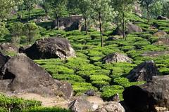 Plantacje herbaty wokół Munnar